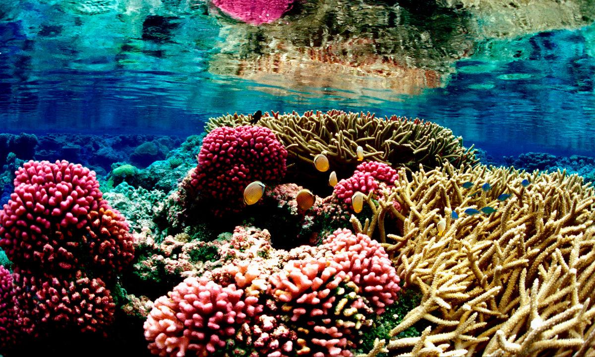 For første gang har vi klart å få koraller fra Atlanterhavet til å avle i fangenskap. Dette kan bidra til å redde verdens korallrev.