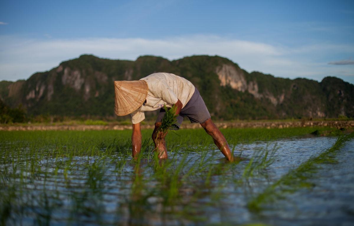 Millioner av risbønder verden over kan halvere eget utslipp av kraftige drivhusgasser med noen enkle vanningsmetoder. Klimapotensialet er kjempestort, sier dansk ekspert.