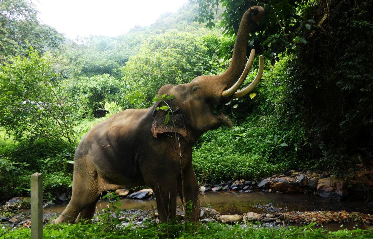 Det blåser en ny positiv vind i elefantturismen. Flere turister har oppdaget at å ri på elefanter og bade med dem medfører dyremishandling.