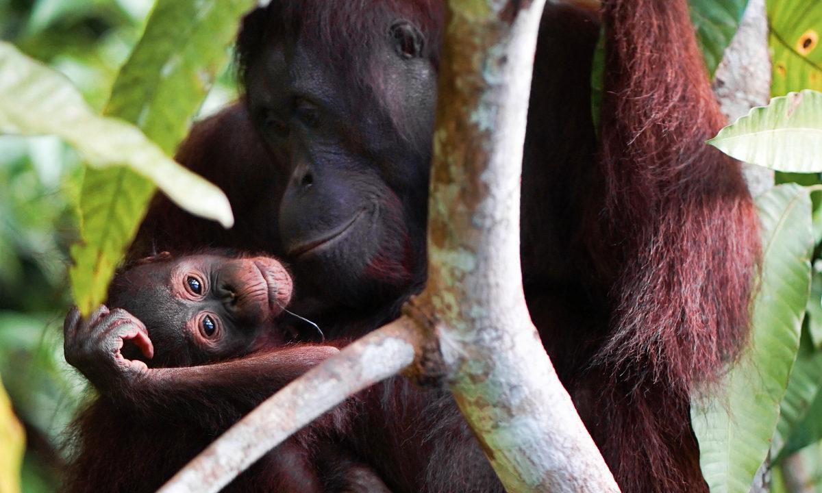 Innsatsen for å stanse de katastrofale brannene i Indonesia er gode nyheter for landets sjeldne orangutanger.