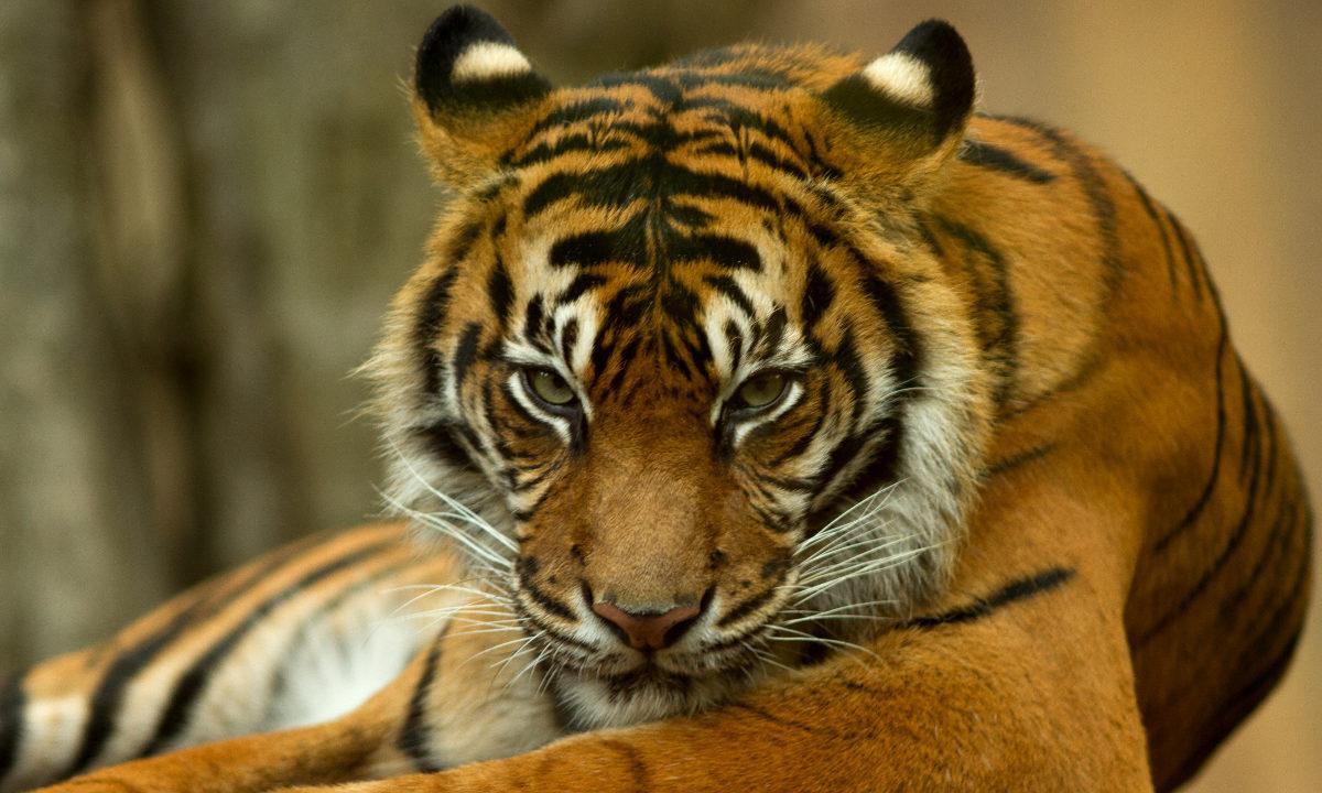 Verdens tigere er stadig under hardt press, men på vei tilbake flere steder. Et nytt prosjekt skal forhindre at tigernes skog i Myanmar blir omgjort til gummiplantasjer.