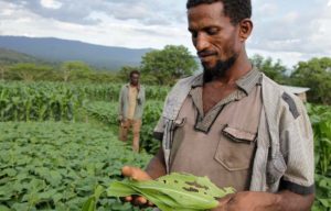 En bonde i Etiopia sjekker maisen sin for skader gjort av hærlarver. Foto: ©FAO/T. Legesse.