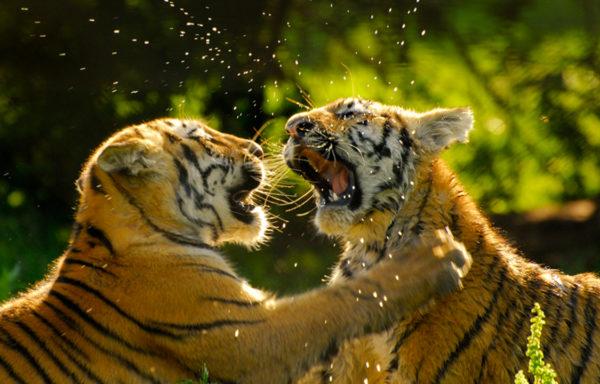 Siden 2009 har antallet tigre i Nepal nesten doblet seg. Det skaper håp for den truede kjempekatten.