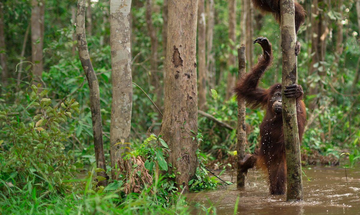 Etter ødeleggende skogbranner har Indonesia kastet seg inn i kampen for å beskytte og gjenopprette sine torvskoger, som lagrer større mengder karbon enn de omkringliggende regnskogene. <br />