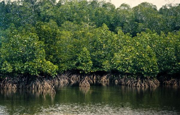 100.000 mennesker har plantet 80 millioner mangrovetræer i Senegal for å beskytte landet mot stigende vannstand. <br />