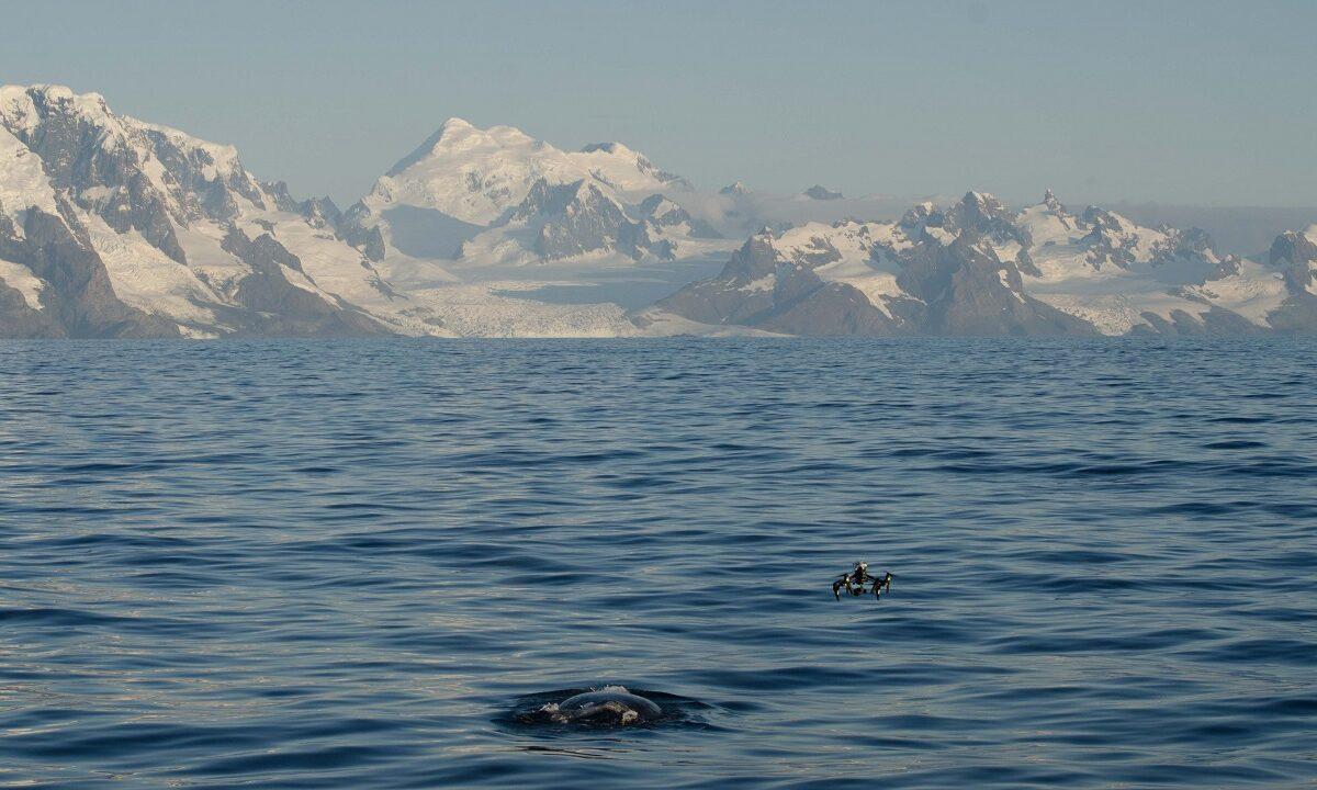 Hvalforskere ser nå rekordmange truede blåhvaler og knølhvaler rundt øya South Georgia, som var episenteret for hvalfangst i Sør-Atlanterhavet.
