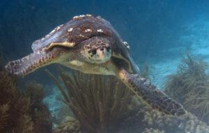 Efter årtiers indsat er flere havskildpadder af arten uægte karetteskildpadde igen begyndt at vende tilbage til de tunesiske strande for at lægge sine æg.  Foto: actor212 CCBY