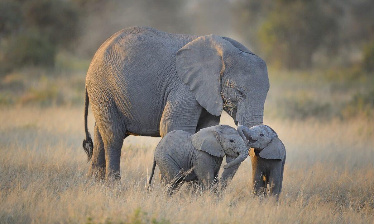 Selv om elefenbensjegere i Afrika er et økende problem, har væpnede vakter på Kenyas savanne klart å temme krypskytterne i landet.