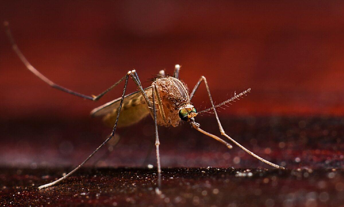 De særlige myg er behandlet med en bestemt bakterie, som gør, at myggen ikke kan overføre sygdommen dengue videre til mennesker. Foto: CCBY Wael Muhammad