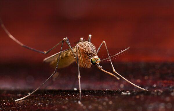 I en provinsby i Indonesia har bakterieinfiserte mygg utryddet mye av byens problemer med den tropiske sykdommen <i>denguefeber</i>.<br />