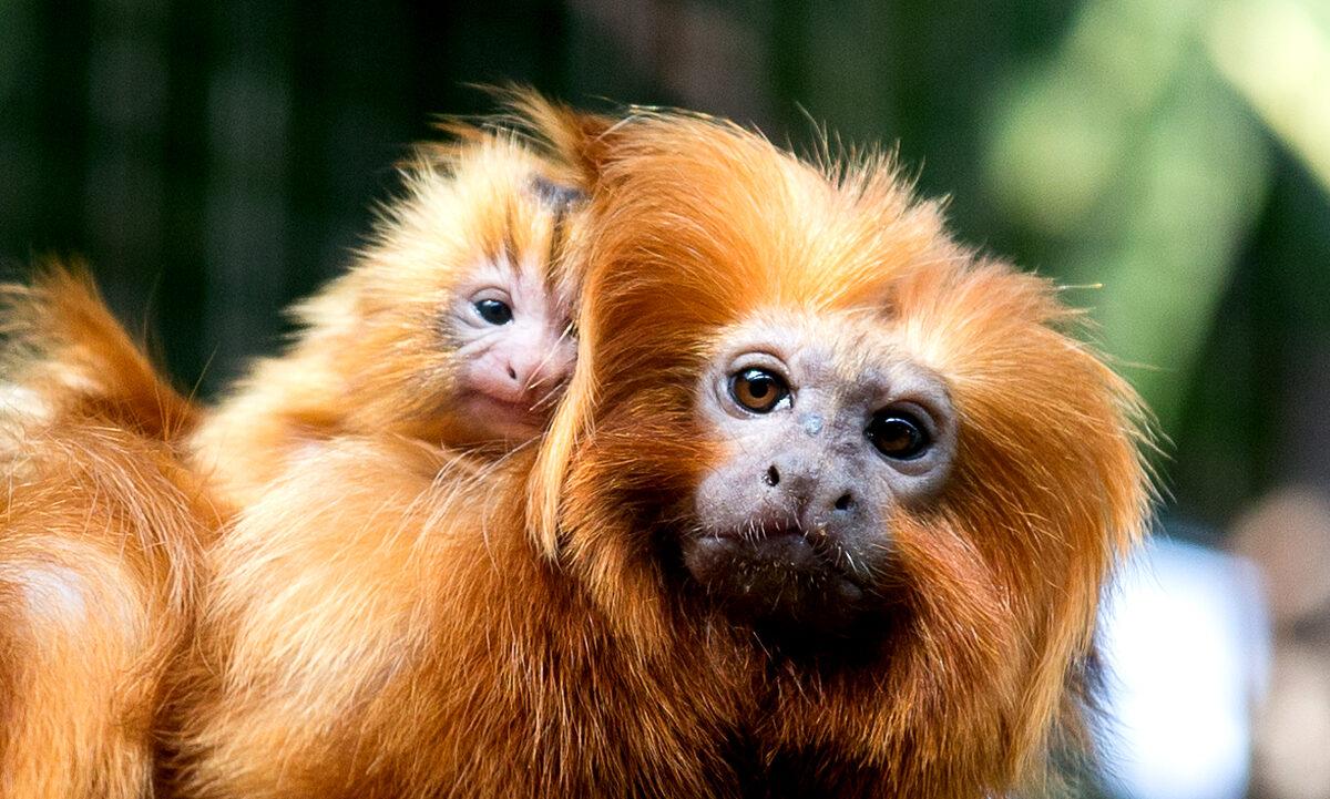 Etter 30 års målrettet innsats har det lykkes å redde den sjeldne gylne løveapen fra å bli utryddet. Og tross politisk motvind er det håp for apenes fremtid, vurderer en dansk ekspert.