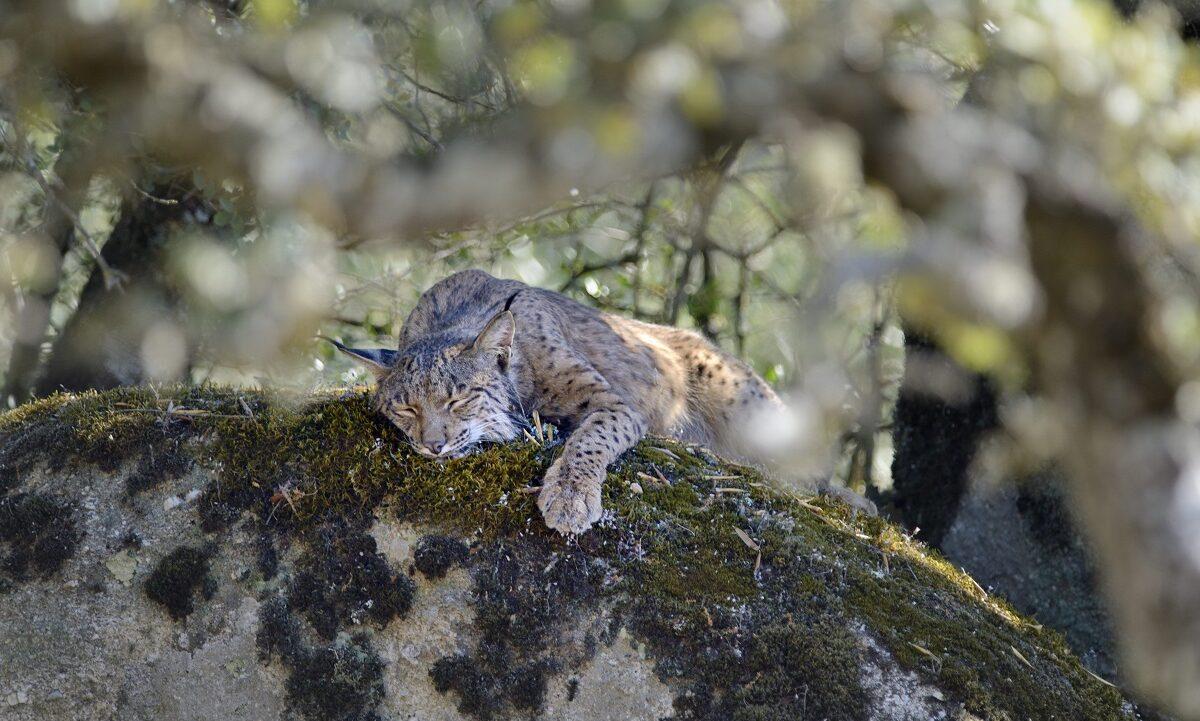 Den spanske gaupen var på vei til å bli det første kattedyret som døde ut i Europa, siden sabeltigeren forsvant for 10.000 år siden. En kjempeinnsats reddet den på målstreken.