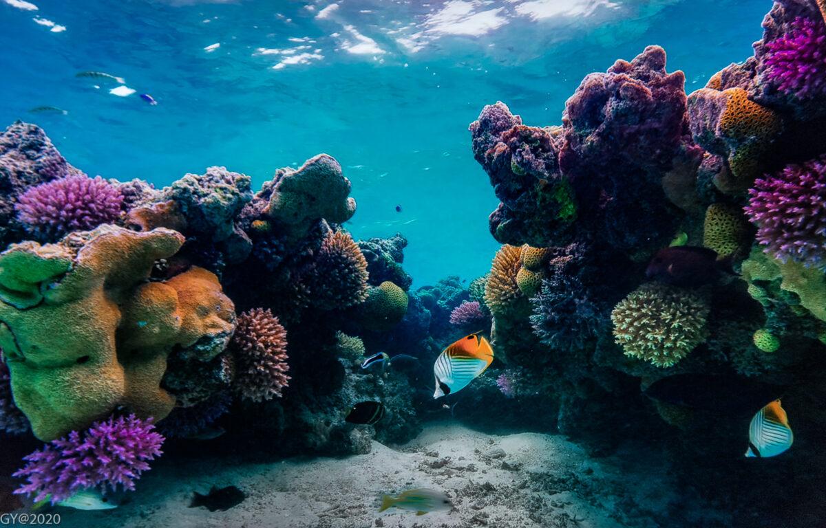 Korallrev verden over lider stort grunnet klimaendringer, men flere finner stadig nye måter å hjelpe korallrevene på.