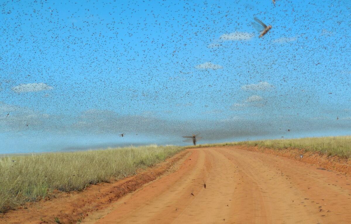 Omfattende arbeid for å forhindre gresshoppepest har reddet 1,3 millioner hektar med avlinger fra å bli ødelagt.